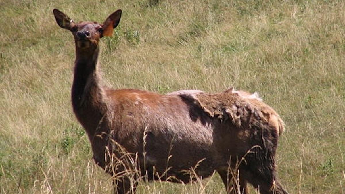 Elk. Public domain photo.